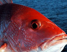 Destin, FL fishing, fishing deals, discount, Florida Snapper Season